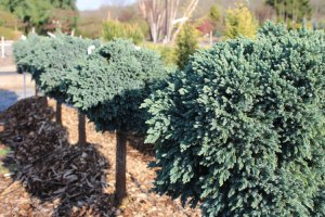 012_blue_star_juniper_on_standard