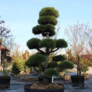 037_topiary_pine