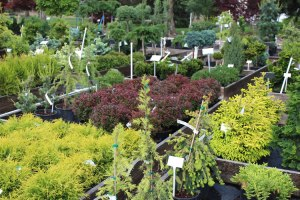 068_conifer_selection