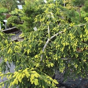 073_picea_orientalis_aurea_spicata