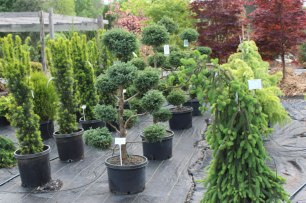 075_conifer_collection