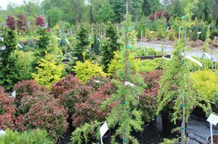 088_conifer_selection